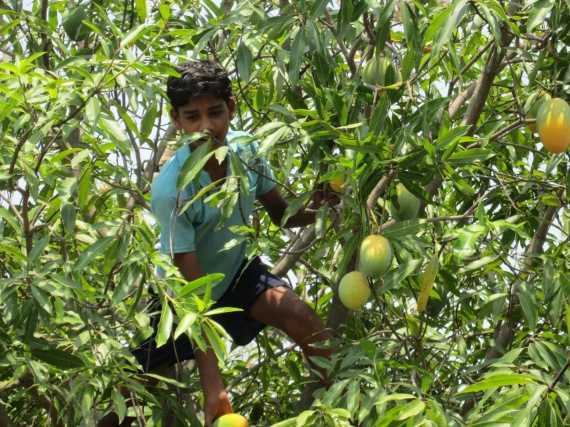 Students harvesting mangoes